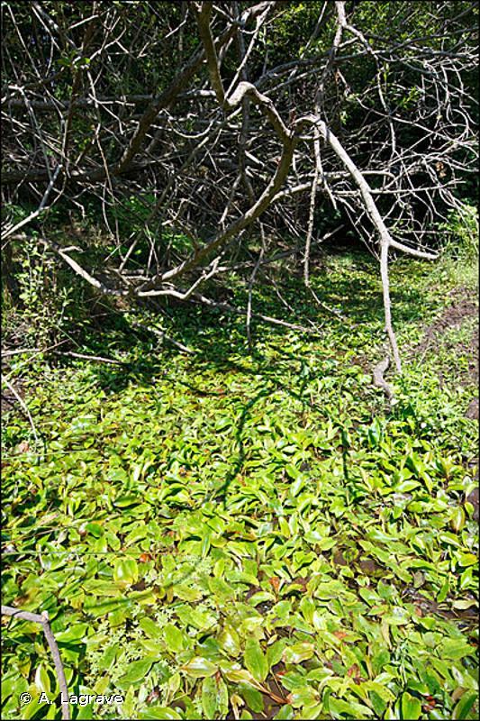 22.4314 - Tapis de Potamot flottant - CORINE biotopes