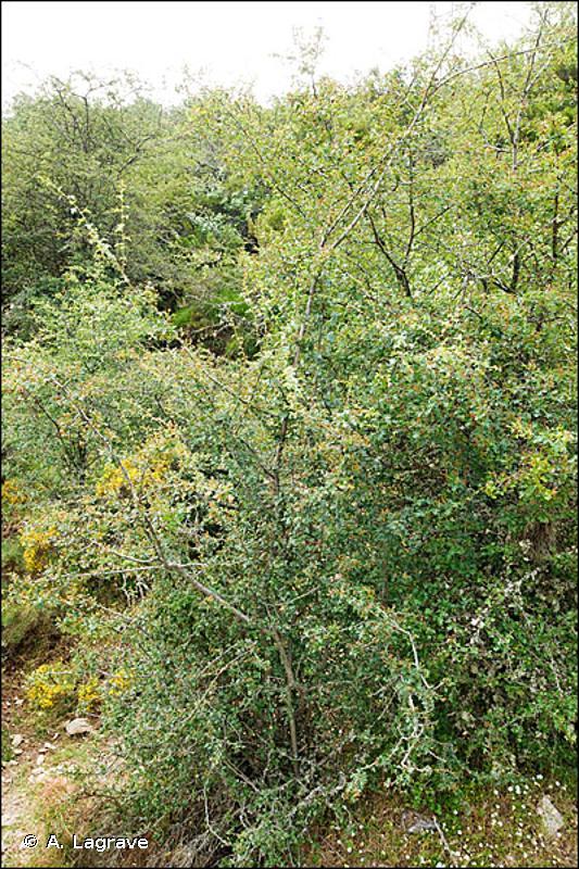 31.81 - Fourrés médio-européens sur sol fertile - CORINE biotopes