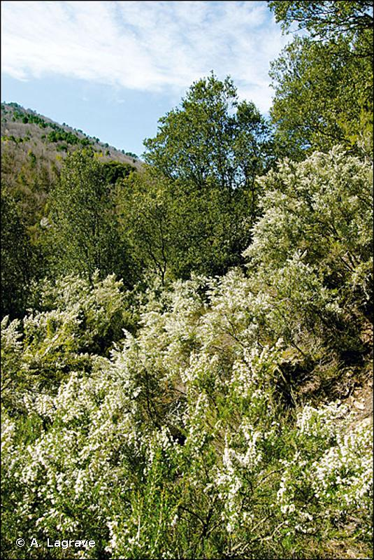 32.311 - Maquis hauts de Méditerranée occidentale - CORINE biotopes