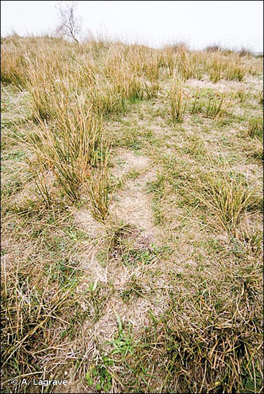 6220 - Parcours substeppiques de graminées et annuelles des <em>Thero-Brachypodietea</em> - Habitats d'intérêt communautaire