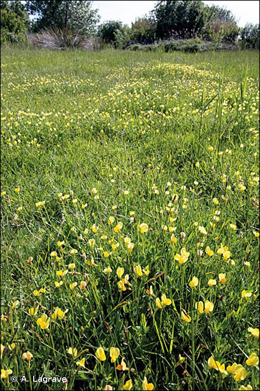 37.4 - Prairies humides méditerranéennes à grandes herbes - CORINE biotopes