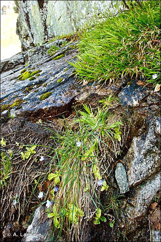 37.86 - Mégaphorbiaies corses à Doronicum - CORINE biotopes