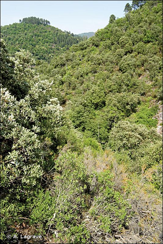 G2.121 - Chênaies à <em>Quercus ilex</em> mésoméditerranéennes - EUNIS