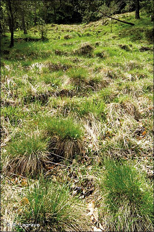 54.23 - Tourbières basses à Carex davalliana - CORINE biotopes