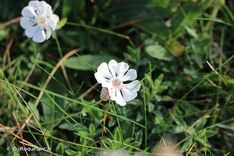 Silene uniflora subsp. uniflora