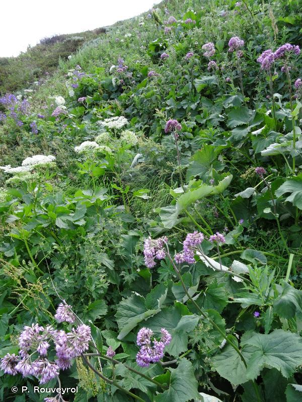6430-9 - Végétation vivace herbacée haute hygrophile des étages montagnard à alpin des <em>Mulgedio-Aconitetea</em> des Pyrénées - Cahiers d'habitats
