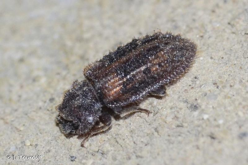 Endophloeus markovichianus