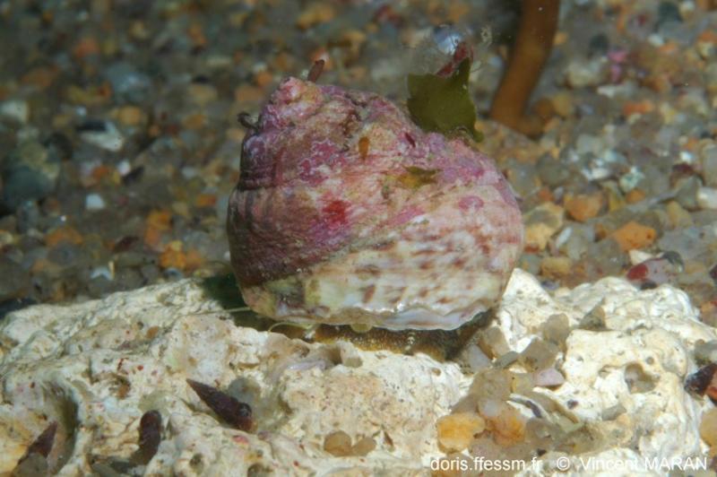 Gibbula magus