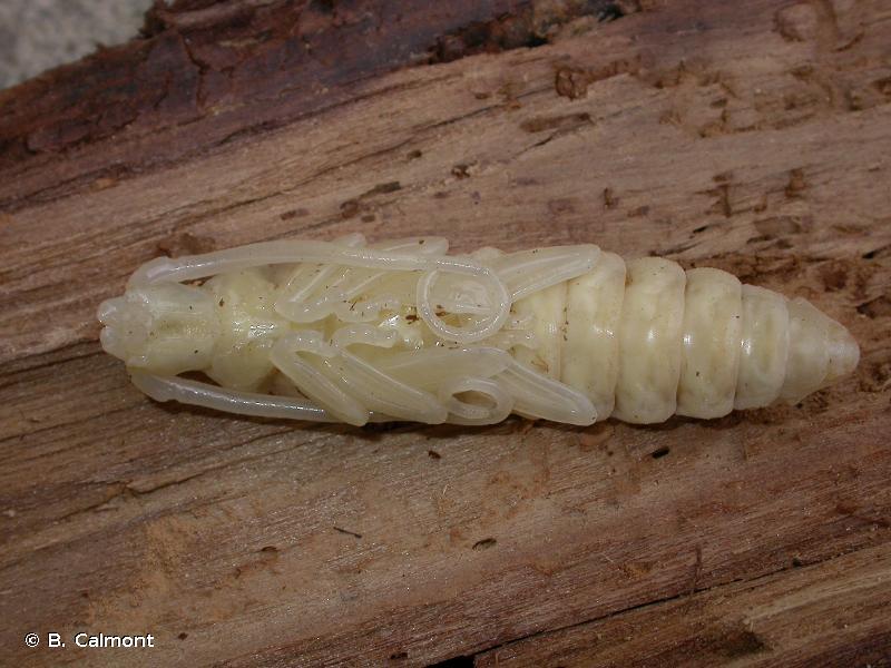 Aegosoma scabricorne