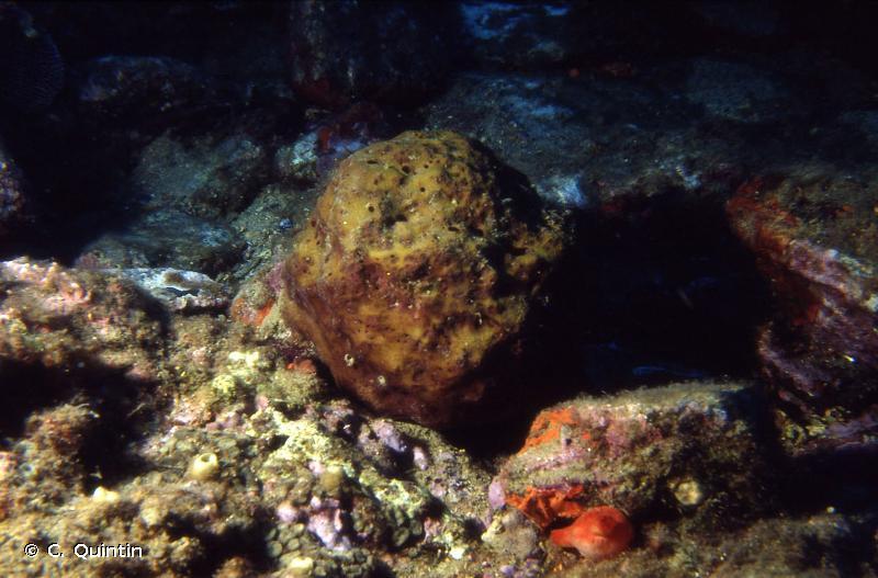 Hippospongia communis