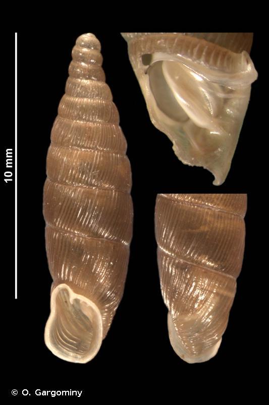 Macrogastra rolphii