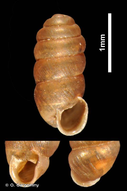 Truncatellina monodon