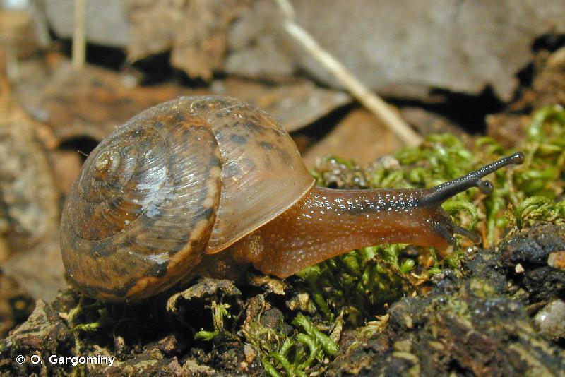 Cyrnotheba corsica