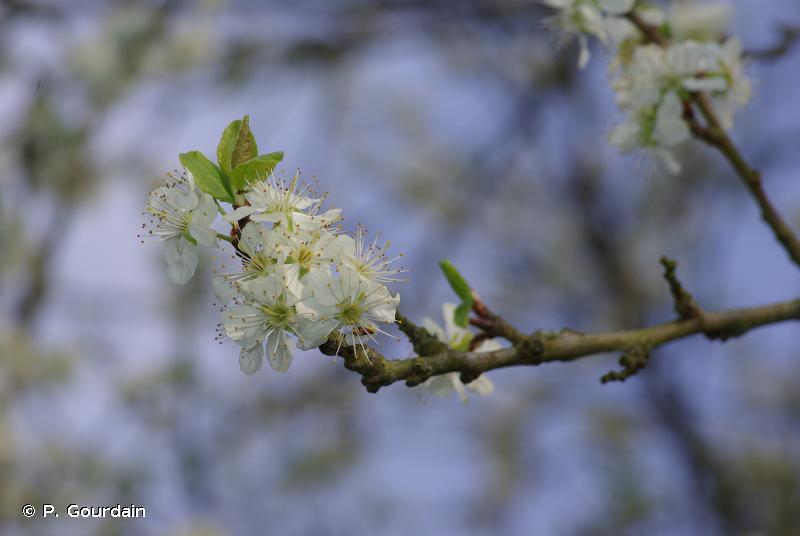 Prunus domestica subsp. italica