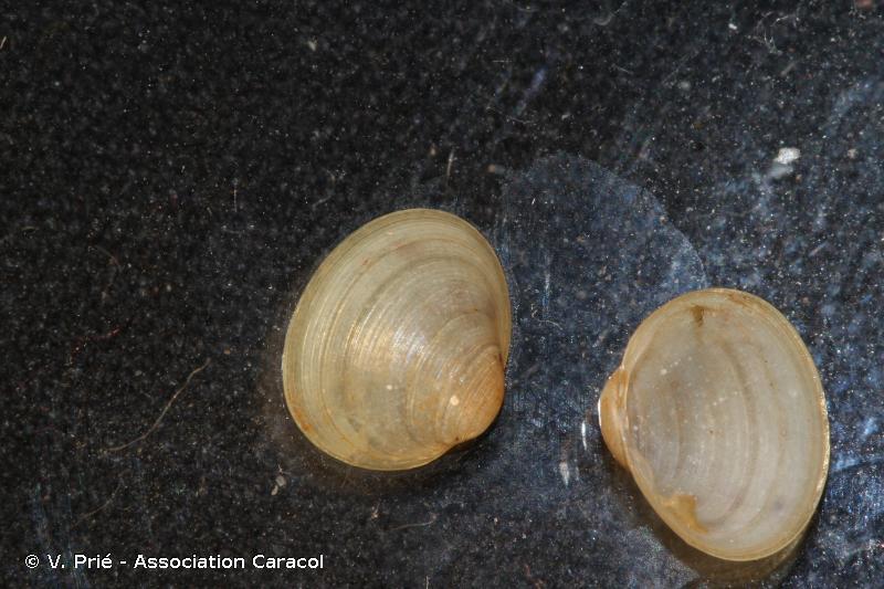 Euglesa obtusalis