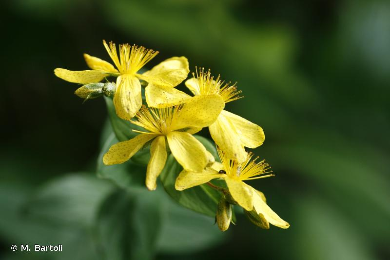 Hypericum richeri