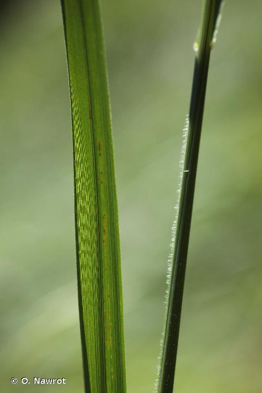Brachypodium rupestre