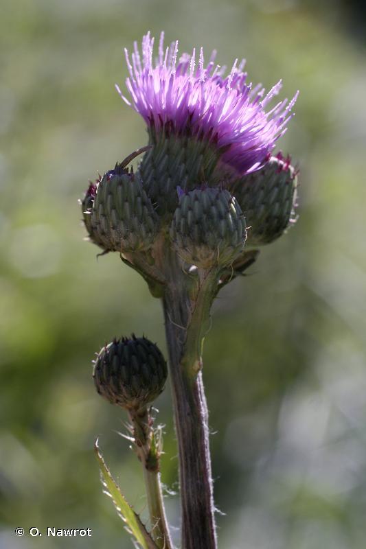 Cirsium monspessulanum