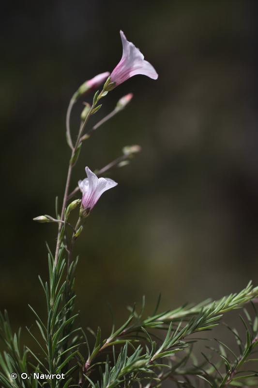Linum suffruticosum subsp. appressum