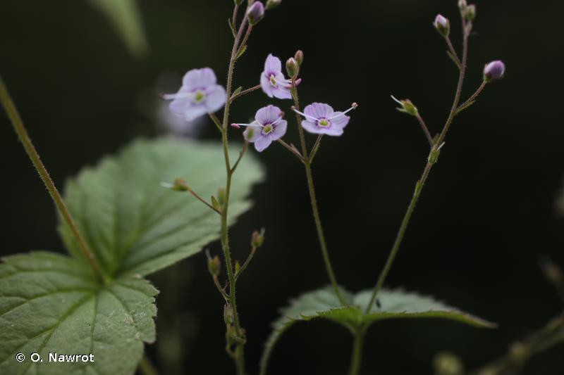 Veronica urticifolia