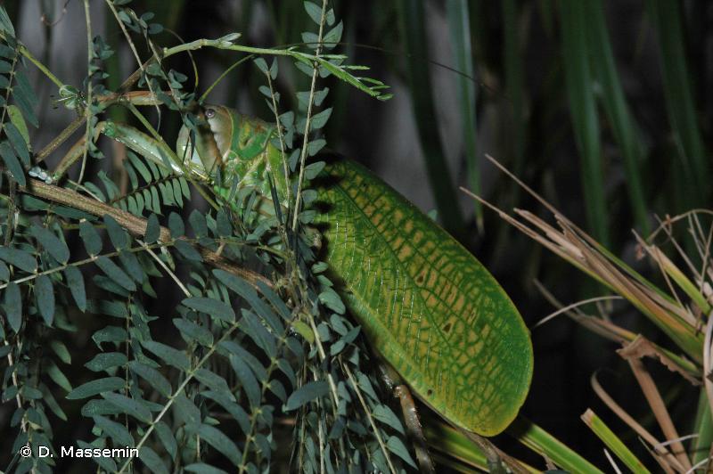 Pseudophyllanax imperialis