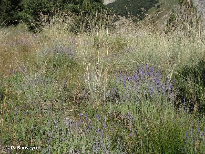 6170-13 - Pelouses calcicoles montagnardes sèches et thermophiles des Alpes méridionales sur sols rocailleux instables - Cahiers d'habitats