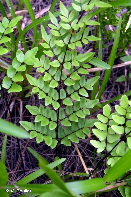 Pellaea viridis