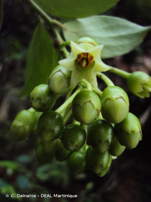 Vaccinium racemosum