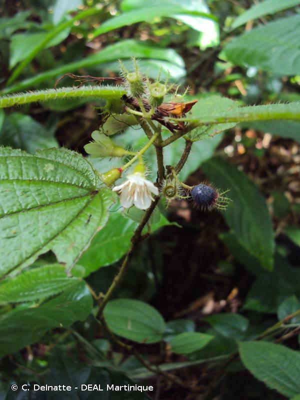 Miconia crenata