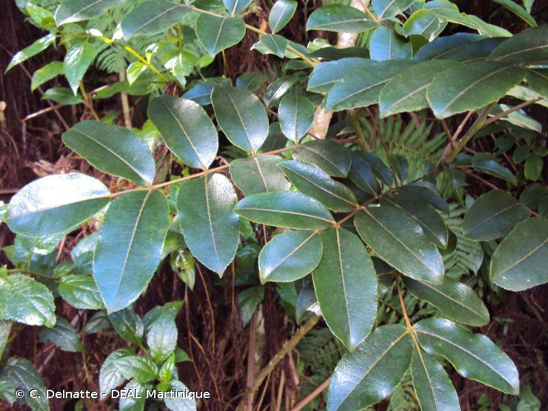 Zanthoxylum flavum