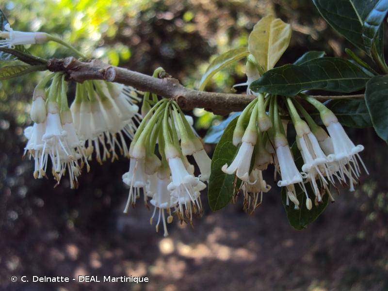 Acnistus arborescens