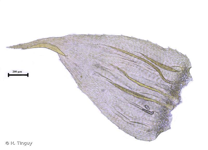 Hylocomiastrum umbratum