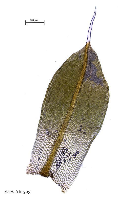 Tortula canescens