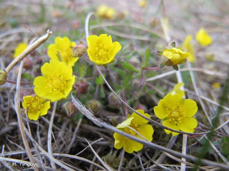 Potentilla heptaphylla