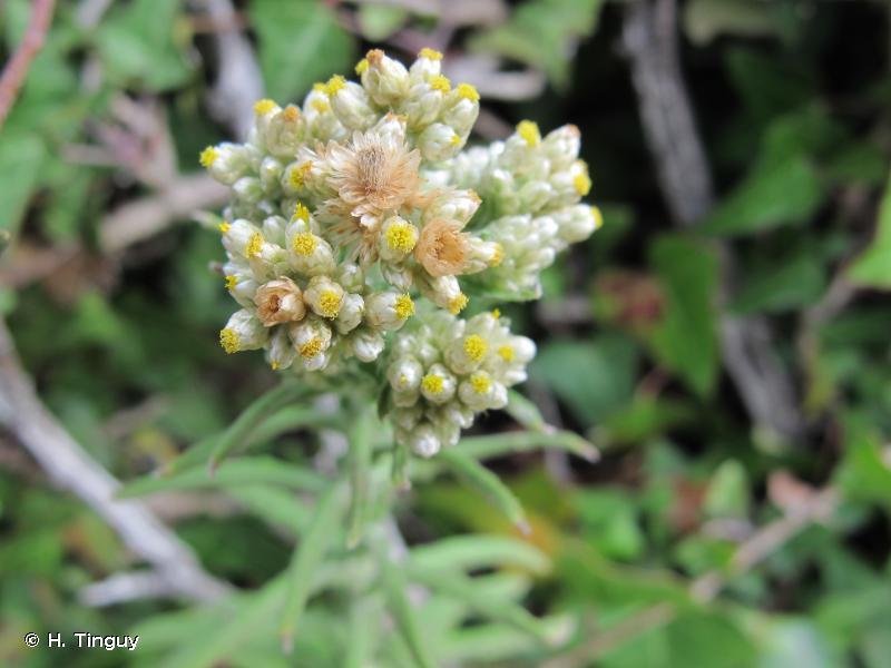 Pseudognaphalium undulatum