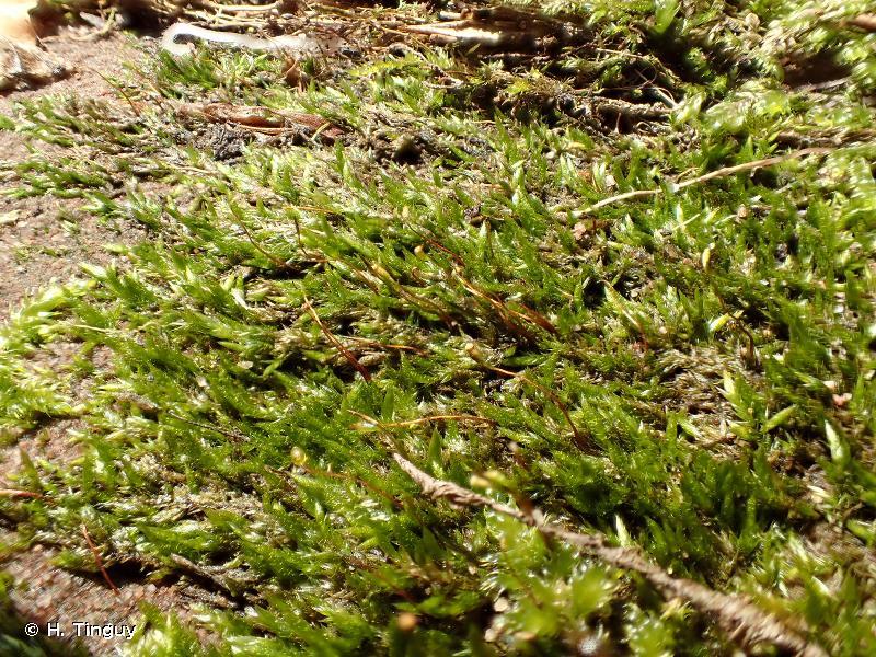 Sematophyllum demissum