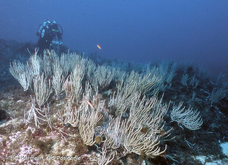 IV.3.1.i. - Faciès à <em>Eunicella singularis</em> - Biocénoses benthiques de Méditerranée