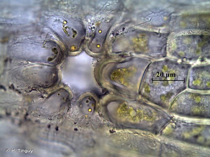 Orthotrichum philibertii