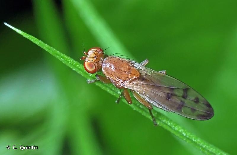 Opomyza florum