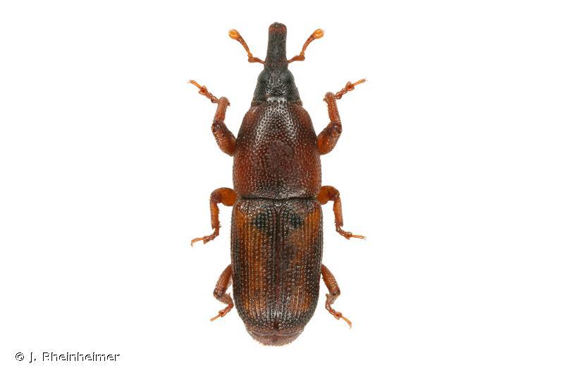 Sitophilus linearis
