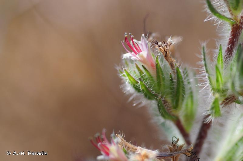 Echium asperrimum