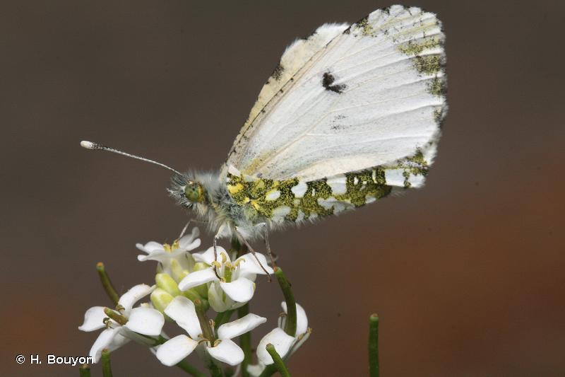 Anthocharis cardamines