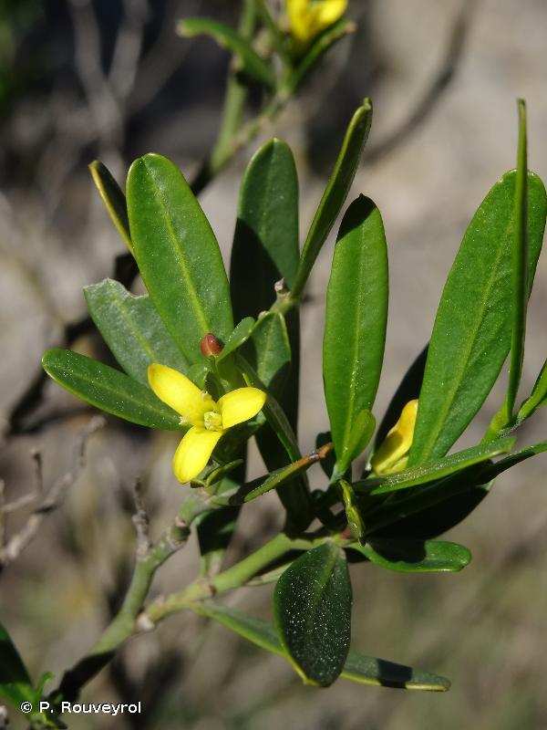 Cneorum tricoccon