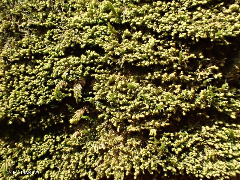 Bazzania flaccida