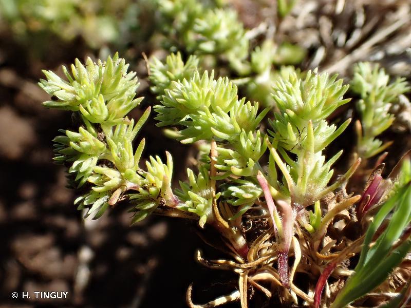 Scleranthus annuus