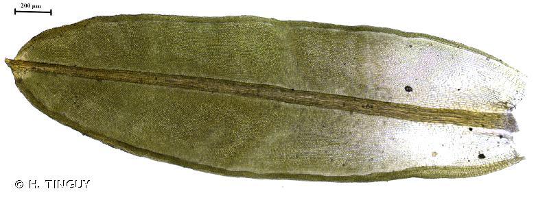 Dialytrichia mucronata