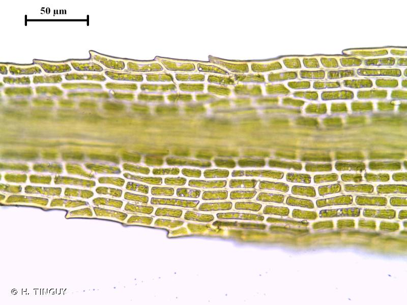 Plagiopus oederianus