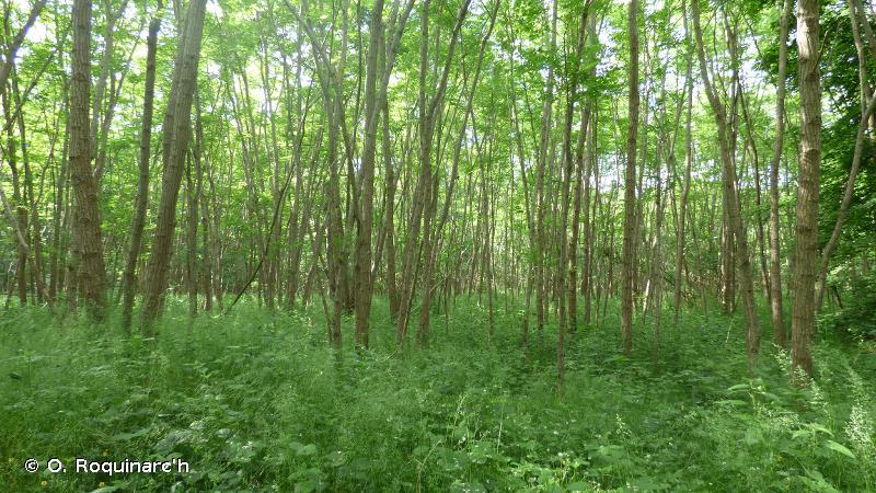 G1.C3 - Plantations de <em>Robinia</em> - EUNIS