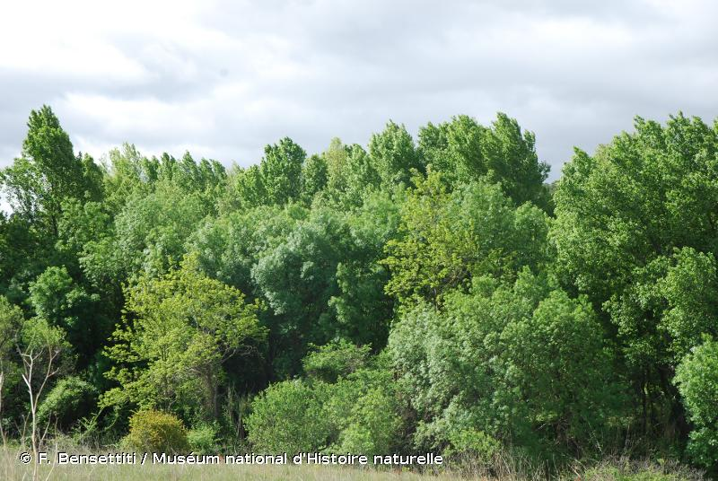 91B0 - Frênaies thermophiles à <em>Fraxinus angustifolia</em> - Habitats d'intérêt communautaire