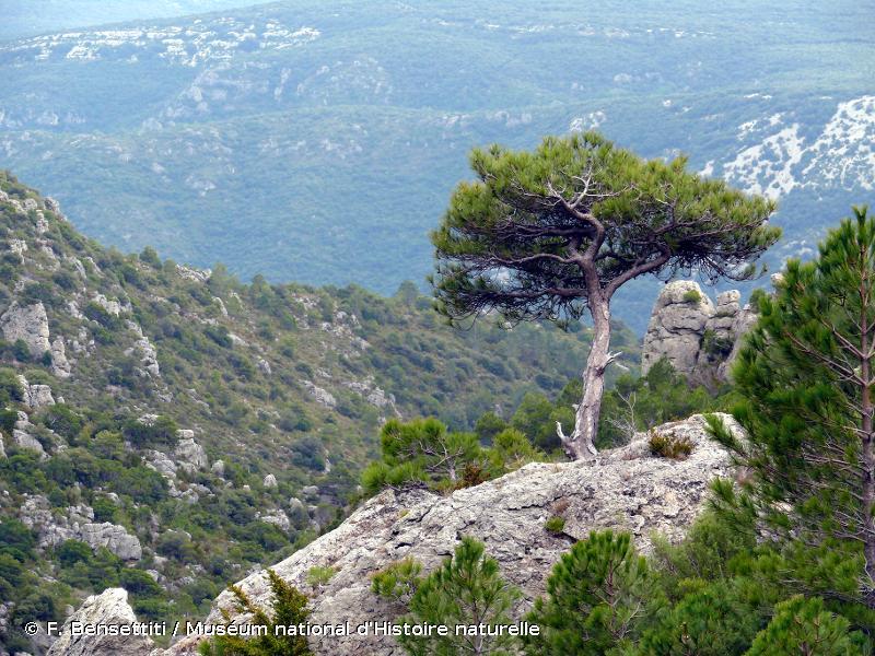 9530 - Pinèdes (sub-)méditerranéennes de pins noirs endémiques - Habitats d'intérêt communautaire